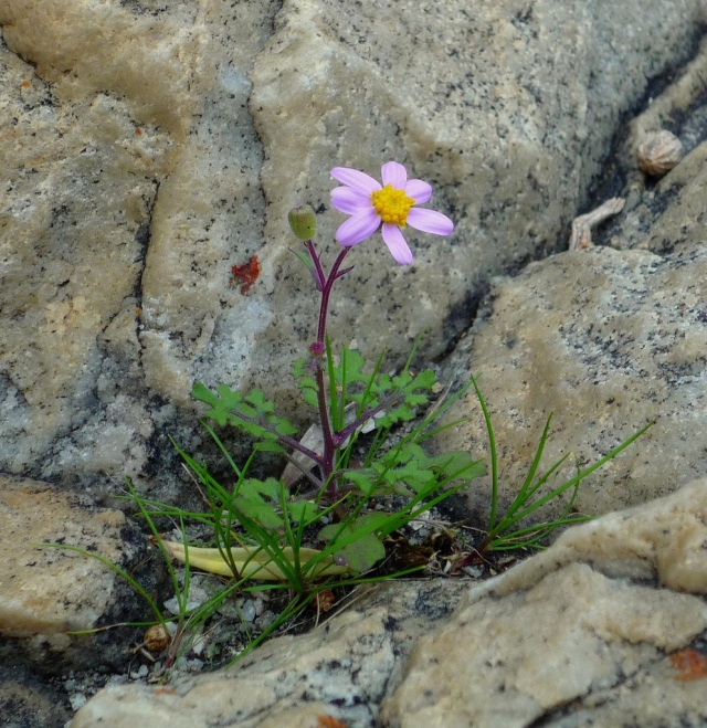 Even flowers growing in rock crevices